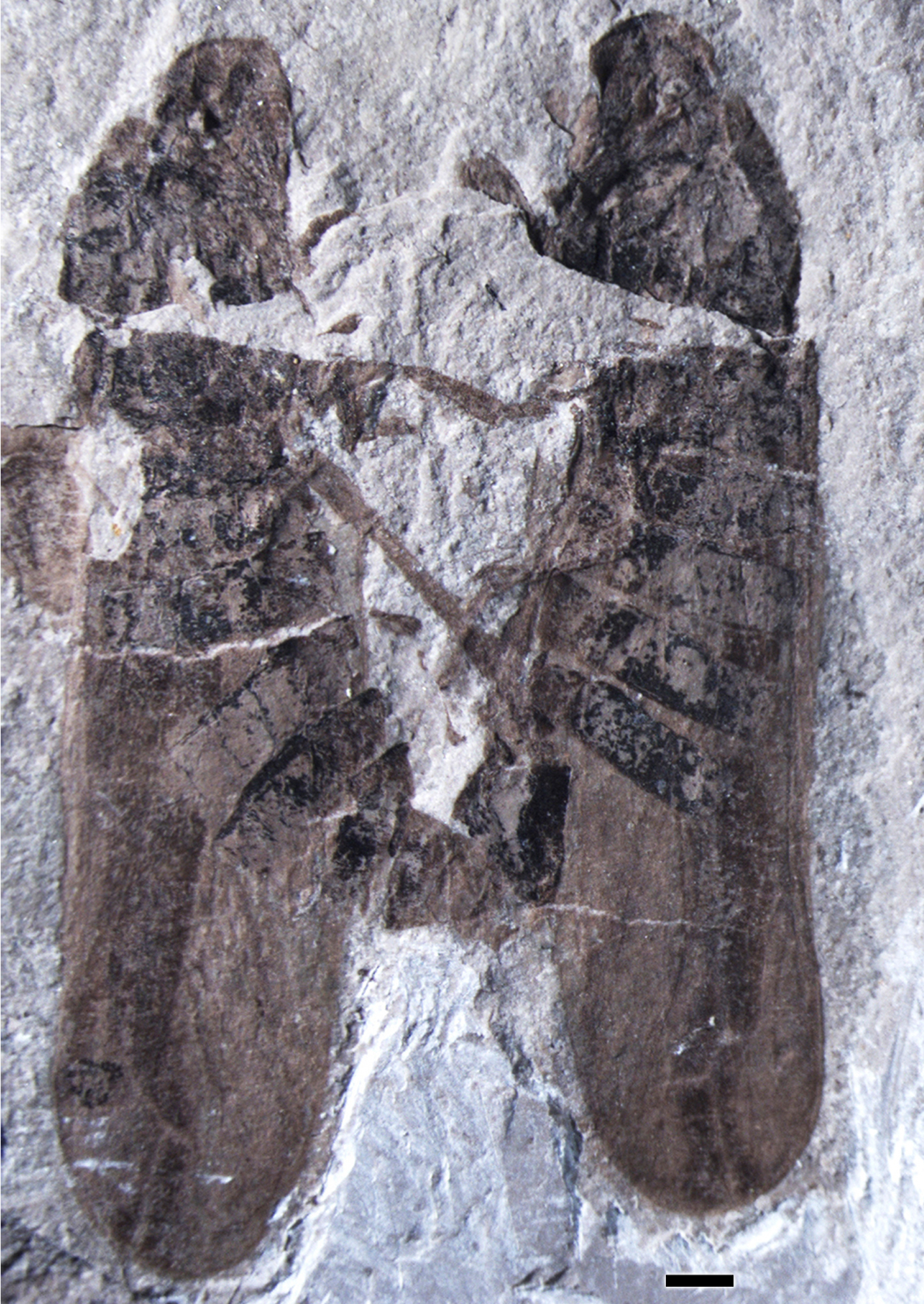 Two mating froghopper insects perfectly preserved in a 165 million-year-old Jurassic rock from Inner Mongolia. Photo courtesy of Professor Dong Ren.