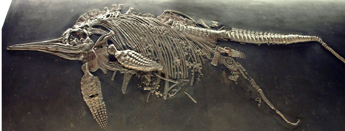 An extraordinary Jurassic fossil which captures an ichthyosaur in the process of giving birth. Photo courtesy of Cindy Howells.
